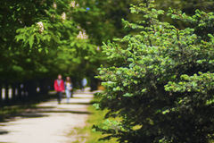 Beautiful green spruce in the city park Stock Photography