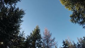 Beautiful green spruce trees on blue sky turning left around. Slow motion stock footage