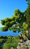 Beautiful green stone pine royalty free stock image