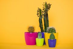 Beautiful green succulents with thorns in colorful pots. Isolated on yellow stock photo