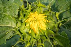 Beautiful green sunflower bud, going to open its petals. Close U Royalty Free Stock Images
