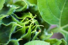 Beautiful green sunflower burgeon developing macro close up Stock Photos