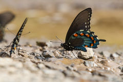Beautiful green swallowtail butterfly. In spring royalty free stock photo
