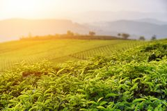 Beautiful green tea leaves at tea plantation at sunset. Beautiful young upper fresh bright green tea leaves at tea plantation at sunset. Scenic tea bushes are royalty free stock image