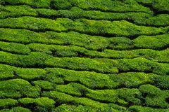 Beautiful green tea plantation background Royalty Free Stock Photo