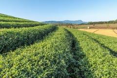 Beautiful green tea Plantation, Shui Fong at Chiang Rai - Thaila Stock Photos