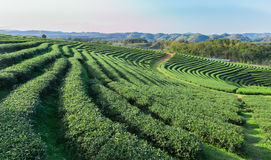 Beautiful green tea Plantation, Shui Fong at Chiang Rai - Thaila Stock Images