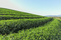 Beautiful green tea Plantation, Shui Fong at Chiang Rai - Thaila Stock Image