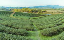 Beautiful green tea Plantation, Shui Fong at Chiang Rai - Thaila Royalty Free Stock Images