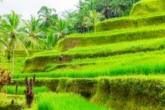 Beautiful green terrace paddy fields on Bali, Indonesia Royalty Free Stock Photo