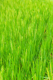 Beautiful green terrace paddy fields on Bali, Indonesia Stock Image