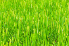 Beautiful green terrace paddy fields on Bali, Indonesia Royalty Free Stock Photography