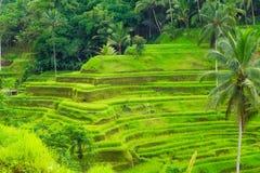 Beautiful green terrace paddy fields on Bali, Indonesia Stock Photography