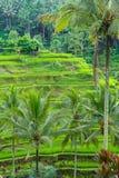 Beautiful green terrace paddy fields on Bali, Indonesia Stock Photo