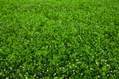 Texture overgrown clover Stock Photo