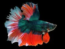 Beautiful green Thai fighting fish swimming with long fins. And red white colorful long tail gene. fighting fish isolated on black background royalty free stock images