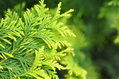 Beautiful Green Thuja Branches. In The Garden Royalty Free Stock Image