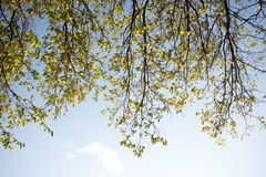 Beautiful green tree border over blue sky background, fresh juic Royalty Free Stock Photography
