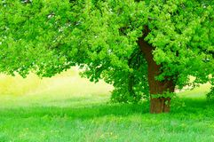 Beautiful green tree with fresh leaves and grass Royalty Free Stock Photography
