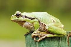 Beautiful green tree frog close-up Stock Image