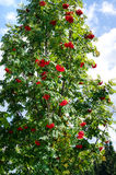 Beautiful green tree full of red wild berrie fruits. Royalty Free Stock Image