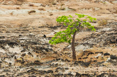 Green Tree and Desert Royalty Free Stock Photography