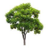Beautiful green tree isolated on white. Background Royalty Free Stock Photos