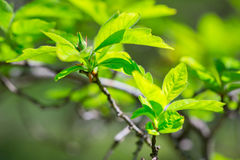 Beautiful green tree leaves Stock Photography