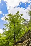 Beautiful green tree near a forest. In the mountains Royalty Free Stock Images