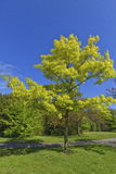 Beautiful green tree in spring Royalty Free Stock Photos