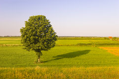 Beautiful green tree stands on the meadow Stock Photo
