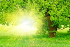 Beautiful green tree with sun Stock Photography