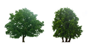 Beautiful  green trees Royalty Free Stock Images