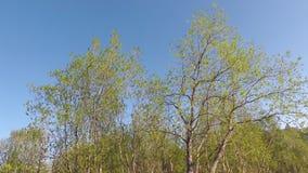 Beautiful green trees in summer breeze stock video