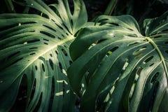Beautiful green tropical leaves Monstera. Beautiful, huge green tropical leaves Monstera Stock Images