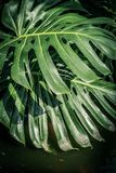 Beautiful green tropical leaves Monstera. Beautiful, huge green tropical leaves Monstera Stock Image