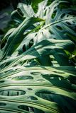 Monstrea plant, huge leaves close up. Beautiful green tropical leaves Monstera in the greenhouse, close up royalty free stock photography