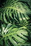 Huge monstera leaves, close up shot. Beautiful green tropical leaves Monstera in the sunshine Stock Photos