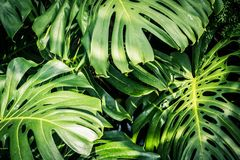 Huge monstera leaves, close up shot. Beautiful green tropical leaves Monstera in the sunshine Royalty Free Stock Photo