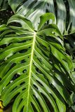 Huge monstera leaves, close up shot. Beautiful green tropical leaves Monstera in the sunshine royalty free stock images