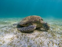 Beautiful green turtle lying on the bottom and eating