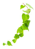 Beautiful green twig of ivy is isolated on white background, clo Royalty Free Stock Photography