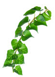 Beautiful green twig of straight ivy Hedera is isolated on white Royalty Free Stock Photos
