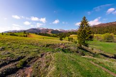 Beautiful green valley in springtime. Spruce forest on grassy slopes in the morning light. Borzhava mountain ridge with snowy tops in the distance under the Stock Photography