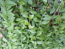 Green vines and leaves stock photo