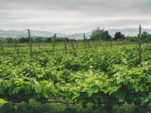 Beautiful green vineyard with mountains on background. In georgia royalty free stock images