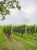 Beautiful green vineyard with rows of plants. In georgia royalty free stock photography