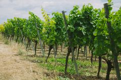 Beautiful green vineyard and soil. In Wurzburg Germany stock photography