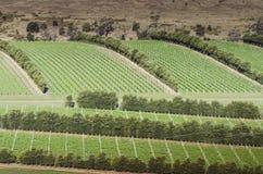 Beautiful green vineyard during summer, winery. Beautiful green vineyard during summer season royalty free stock photos