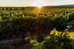 Beautiful green vineyard at sunset. Provence france royalty free stock image